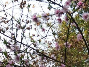 ob_a0fdd8_fleurs-de-cerisiers