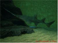ob_e4ed91_requin-scie